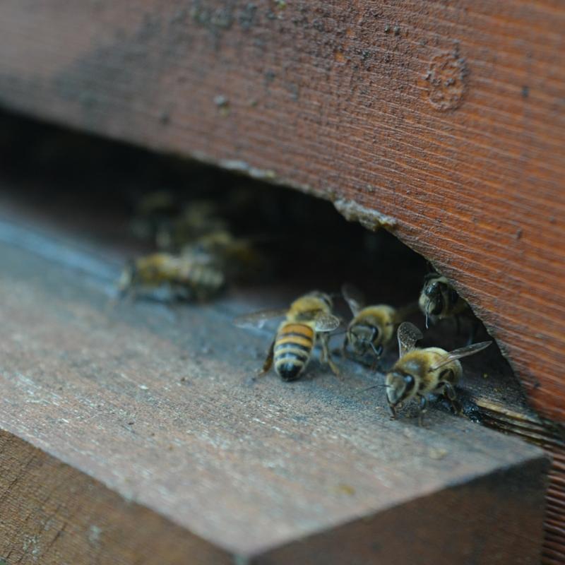 miele zeffiro, propoli, miele campania, miele biologico, polline, api, miele italiano, apicoltura, apicoltura zeffiro